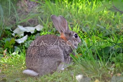 Il coniglio selvatico di Ischia